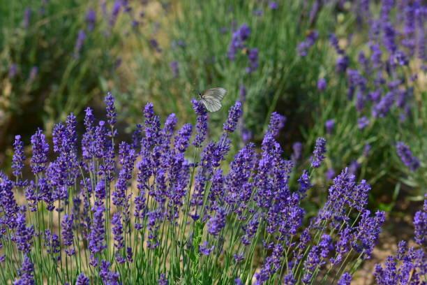 Lavendel Blumen  – Foto