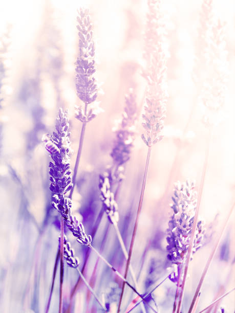 Lavender Flowers Plant - Blurred Nature Background stock photo
