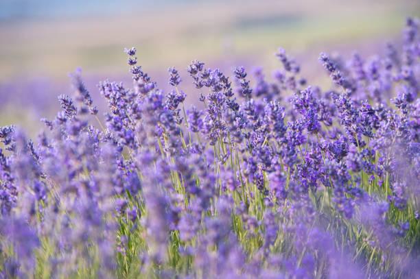 lavendel bloemen-zonsondergang over een zomer paars lavendelveld. - lavendel stockfoto's en -beelden