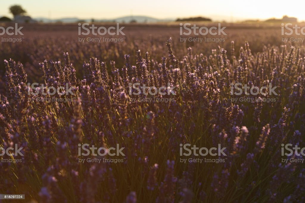 lavender flowers, valensole, provence, france,lavender fields stock photo