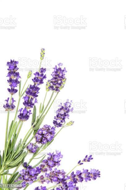 Lavender flowers white background floral picture id1171126965?b=1&k=6&m=1171126965&s=612x612&h=vl2fkebf3zikeo3snnumy gkdj zigiqellglmmcub8=