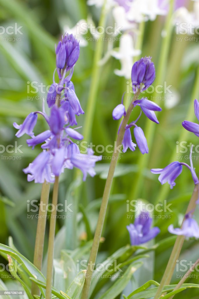 Lavender flowers with out of focus background stock photo