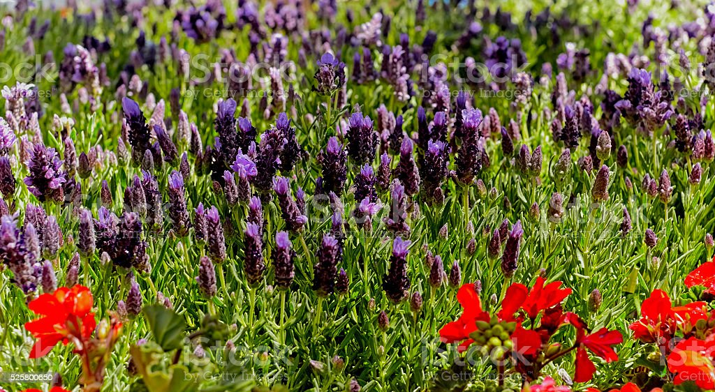 Lavender Flowers with Red Salvia in a Garden stock photo