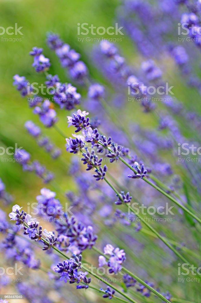 Lavande fleurs avec tiges - Photo de Couleur verte libre de droits