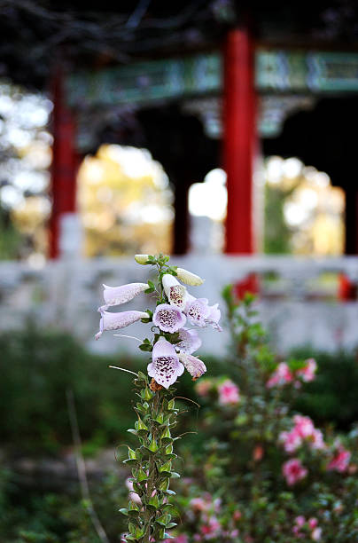 Lavender Foxglove, with Japanese Pagoda in Background Lavender foxglove, with Japanese pagoda in the background. neilliebert stock pictures, royalty-free photos & images