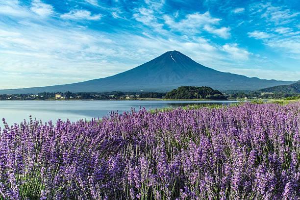 Lavender Fuji Lavender at Lake Kawaguchi and Mt. Fuji lake kawaguchi stock pictures, royalty-free photos & images