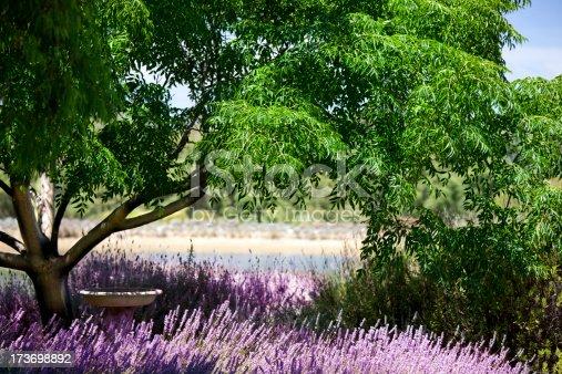 pretty lavender garden at a vineyard