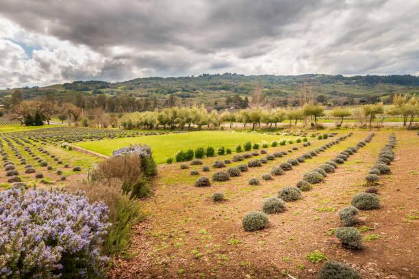 Lavender Garden stock photo