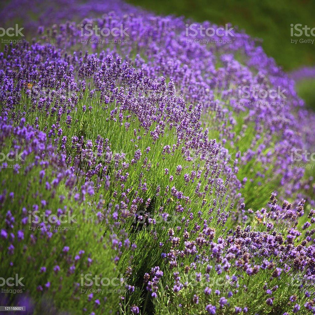 lavender garden royalty-free stock photo