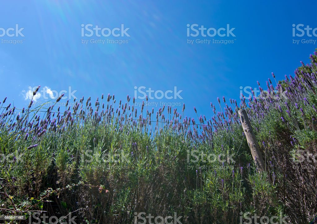 Lavender garden view Mallorca royalty-free 스톡 사진