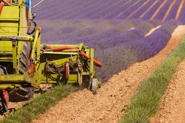 lavender harvesting in valensole, provence, france, lavender fields stock photo