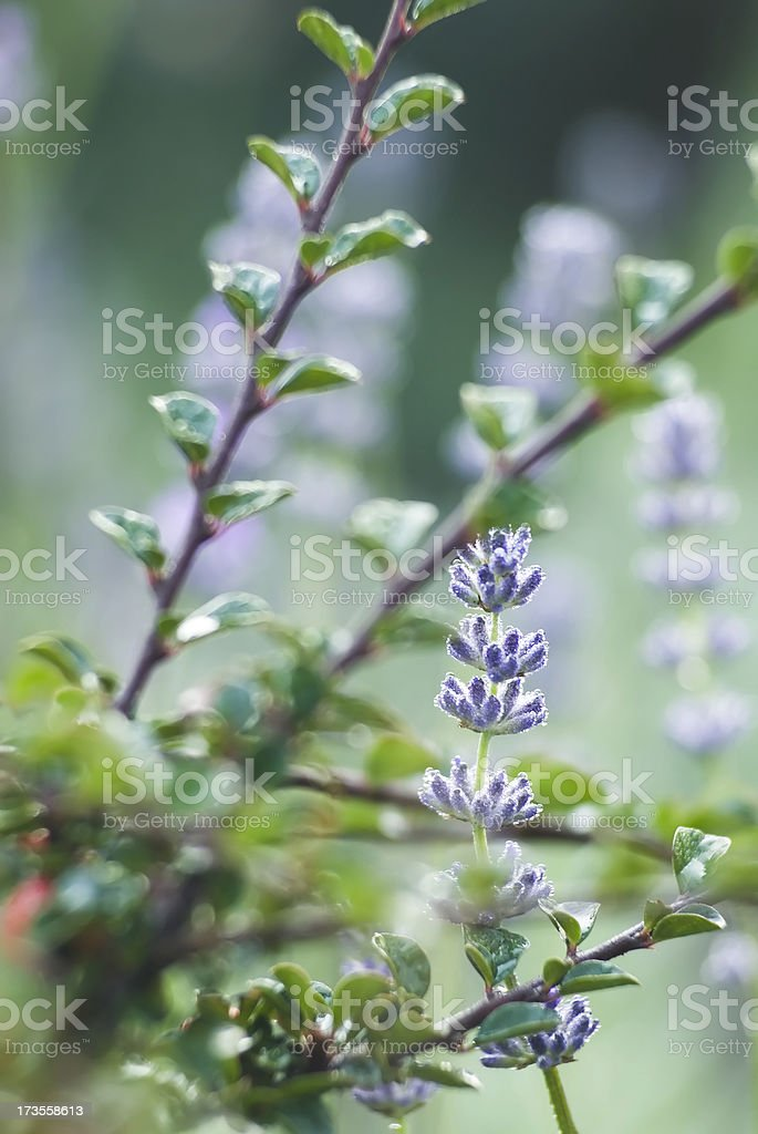 Lavender herb - I royalty-free stock photo