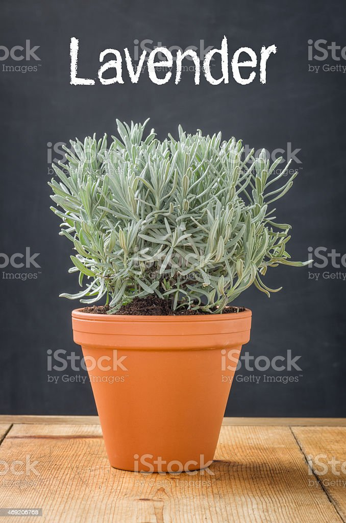 Lavender in a clay pot on a dark background stock photo