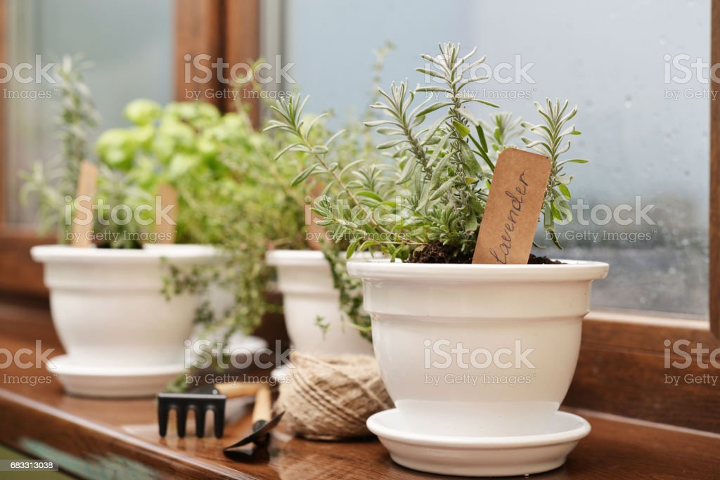 Lavender in a clay pot royalty free stockfoto