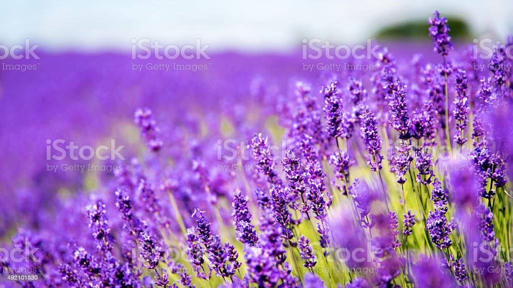 Lavender in a field with close focus stock photo