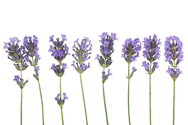 Lavender in a row isolated on white picture id171153799?b=1&k=6&m=171153799&s=612x612&w=0&h=kepcn0dsdmebqitddru2zqcflarctpsacjfhcumgzo0=