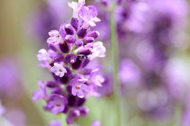 Lavender in bloom stock photo