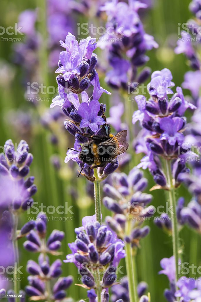 Lavender in bloom with bee stock photo
