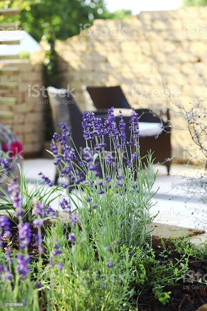 Lavender in garden royalty-free stock photo
