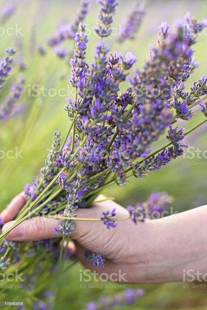 Lavender in hands royalty-free stock photo