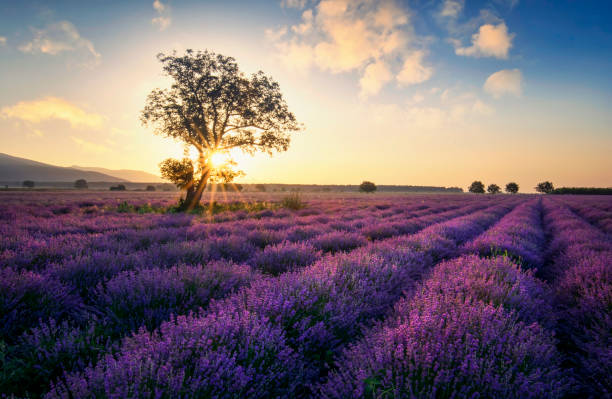 Lavender in Provence at sunrise The Lavender route in Provence, France. With setting sun giving sunburst from behind a tree. provence alpes cote d'azur stock pictures, royalty-free photos & images