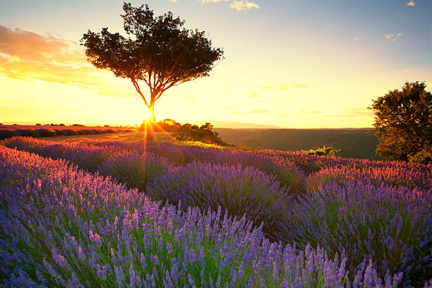 Lavender in Provence at sunset The Lavender route in Provence, France.   With setting sun giving sunburst from behind a tree. provence alpes cote d'azur stock pictures, royalty-free photos & images