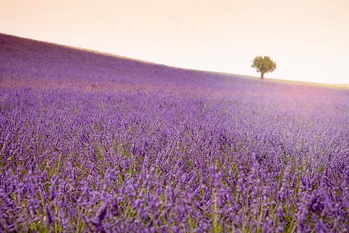 Fiesd aand lavender flowers