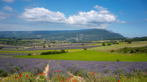 Lavender in Provence, South of France stock photo