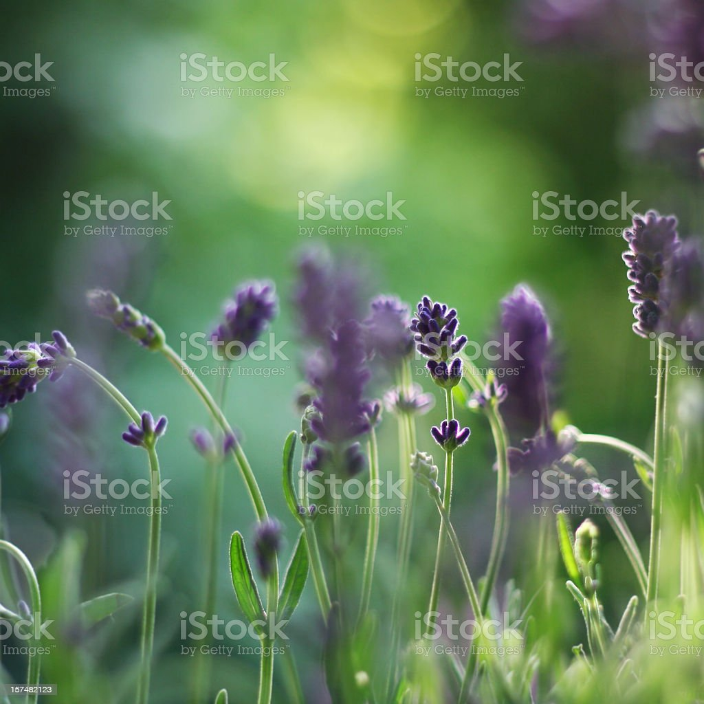 Lavender in Summertime royalty-free stock photo