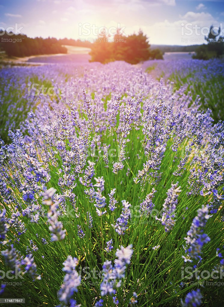 Lavender in sunset stock photo