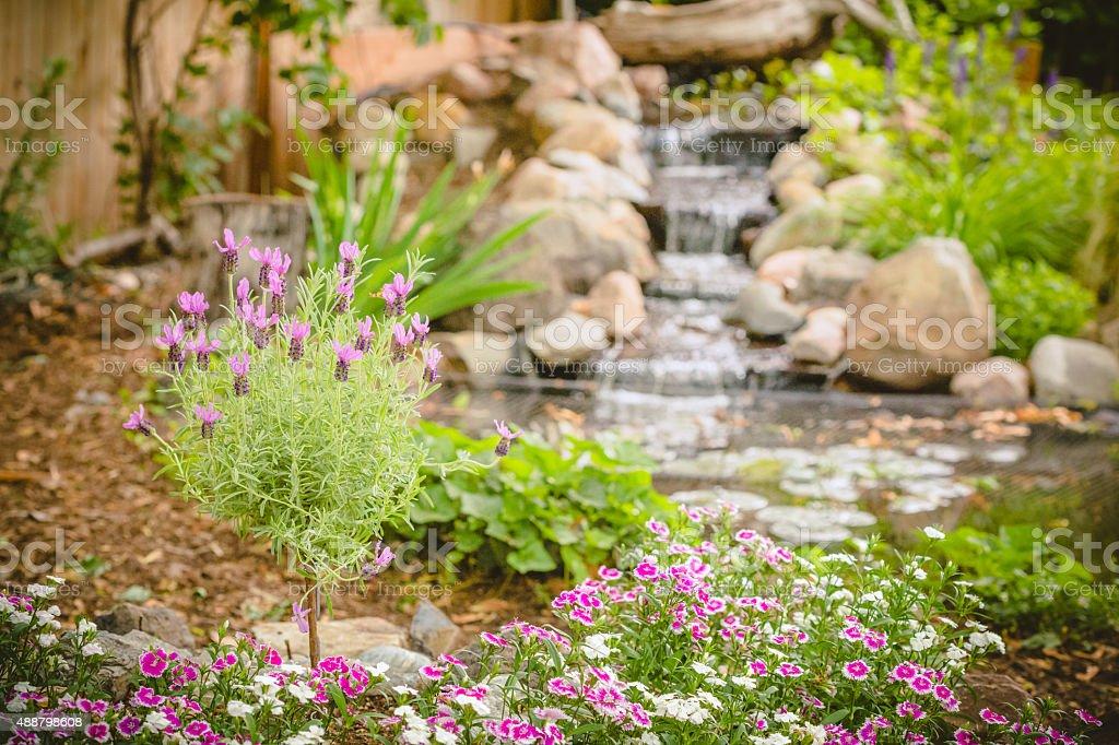 Lavender in the backyard flower garden stock photo