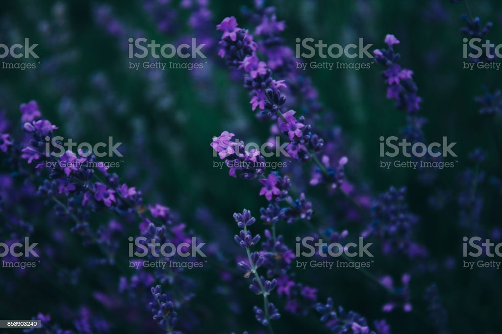 Lavender in the field. stock photo