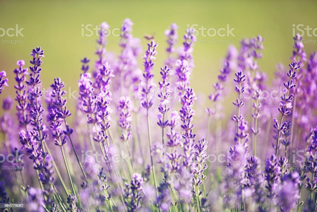 Lavender in the garden royalty-free stock photo