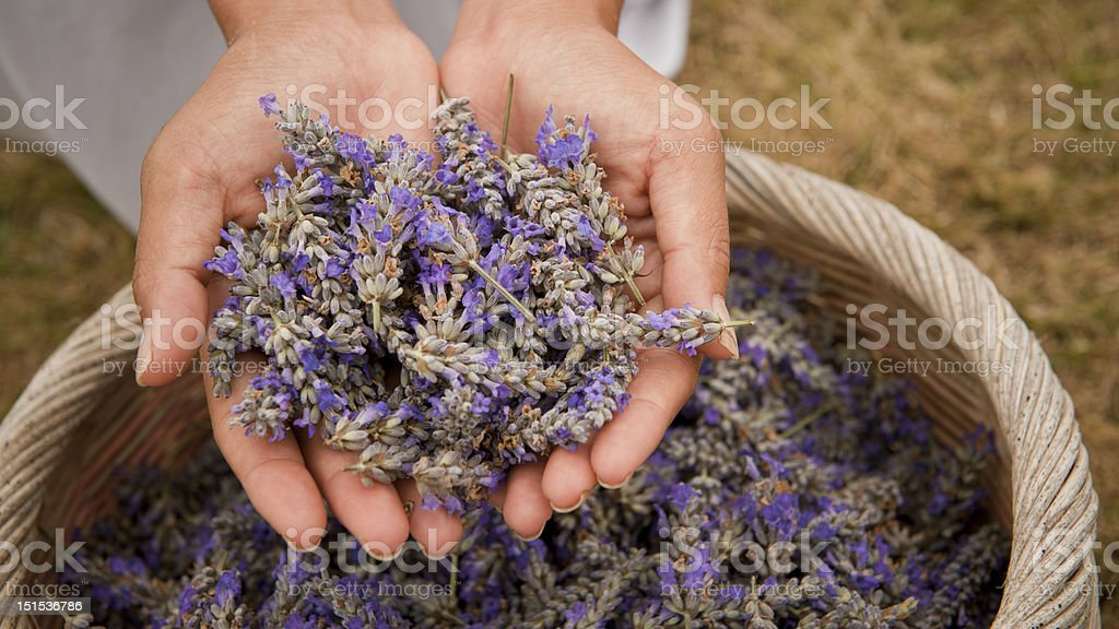 Lavender in Women's Hands royalty-free stock photo