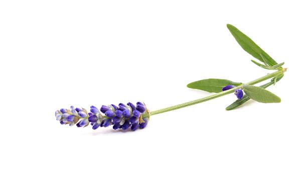 Lavendel, isoliert auf weiss – Foto