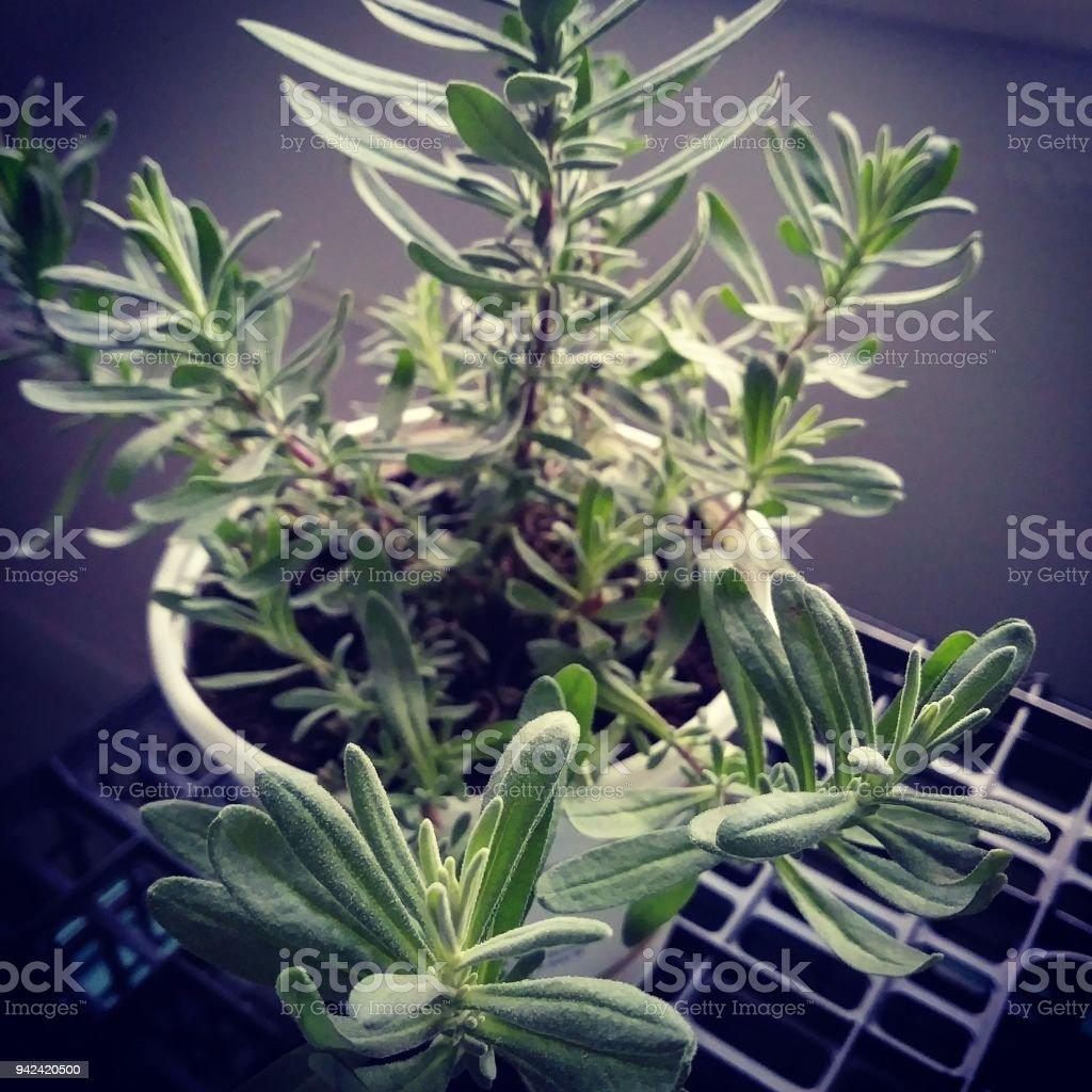 Lavender lady stock photo