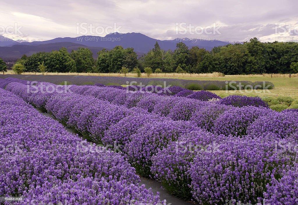 Lavender landscape stock photo
