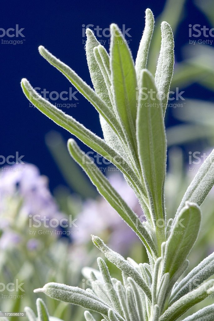 Lavender Leaves royalty-free stock photo