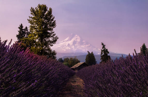 Lavender Lines Hidden in the rows of pears, apples, and berries, scents of summer silently line up in front of Mt. Hood. Get lost in the emptiness and beauty of this hidden valley location. Location is the Lavender Valley LLC. hood river valley stock pictures, royalty-free photos & images