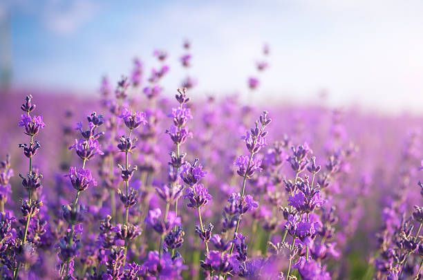 Lavender meadow stock photo