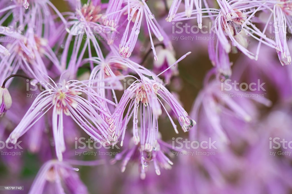Lavender Mist Meadow Rue with Raindrops royalty-free stock photo