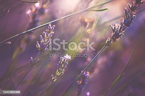 Lavender on a bright sunny day