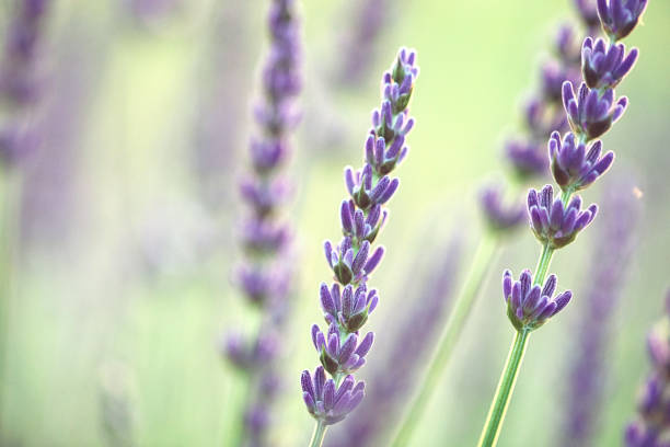 Lavender on a bright sunny day stock photo
