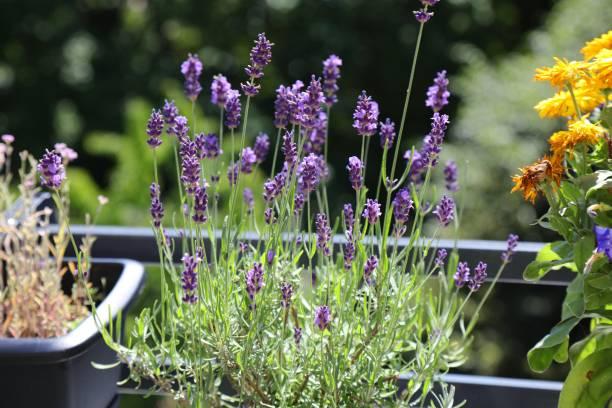 Lavender on balcony stock photo