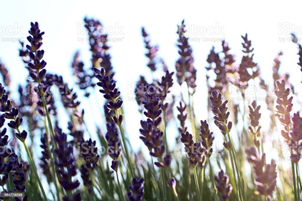 Lavender on white at dusk royalty-free stock photo