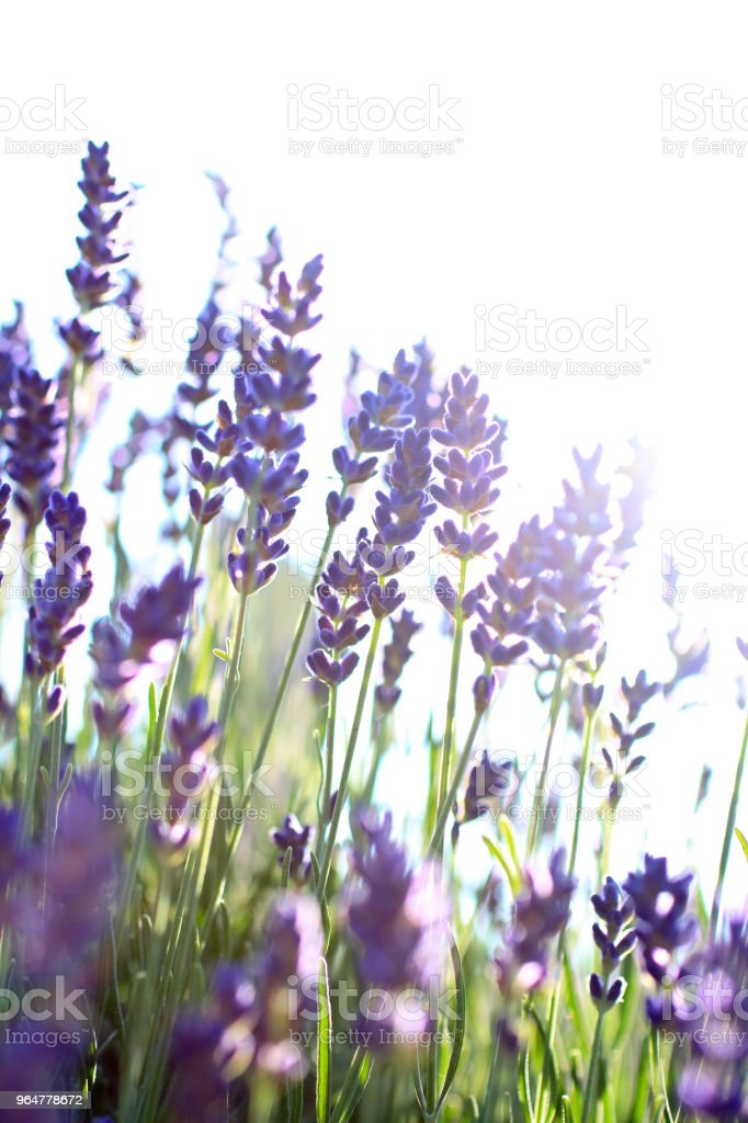 Lavender on white at dusk royalty-free stock photo