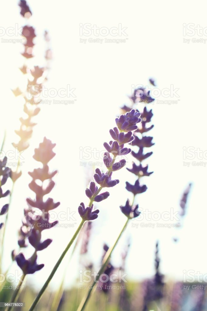 Lavender on white at sunset royalty-free stock photo
