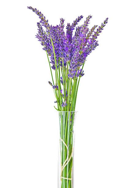 Lavendel auf weißem Hintergrund – Foto