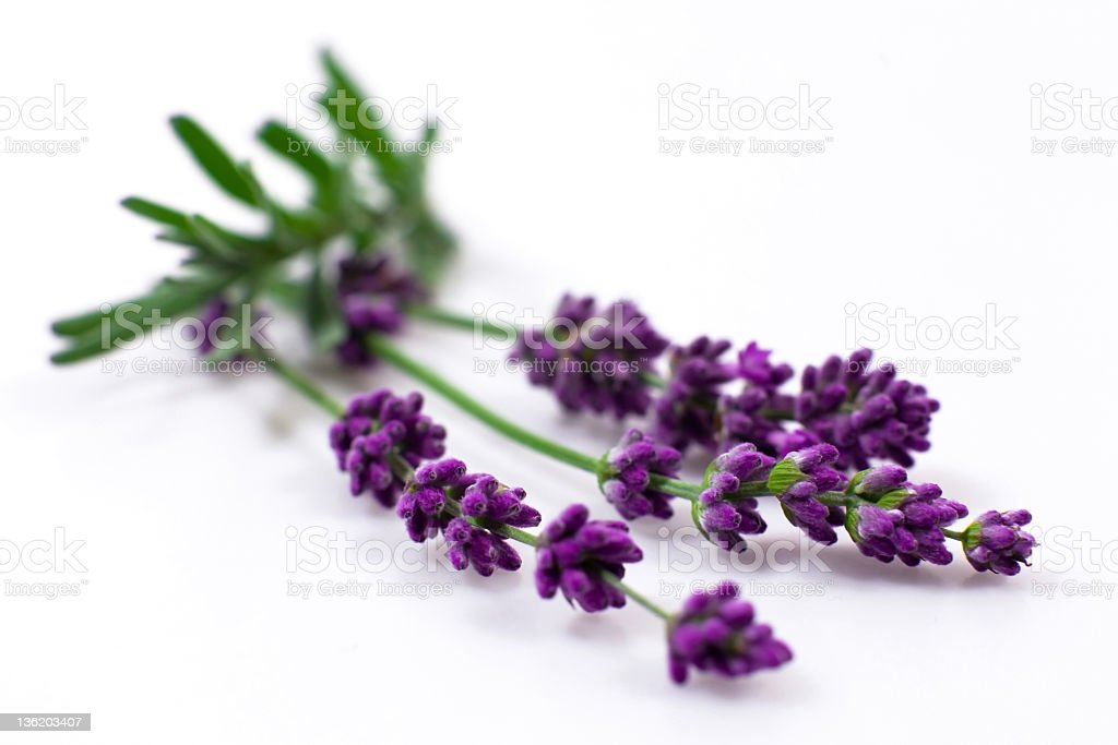 Lavender on white stock photo