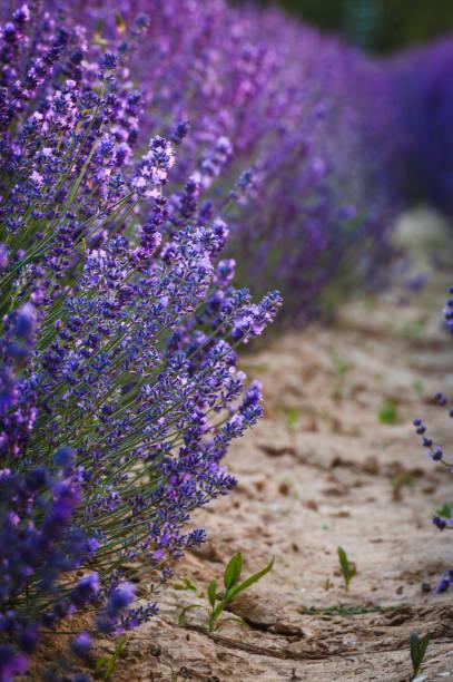 Lavender – zdjęcie